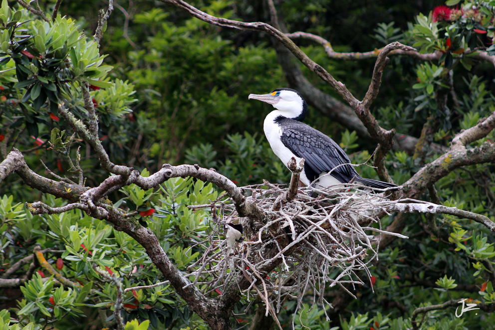 Pied Shag nesting in Pohutukawa Tree, New Zealand