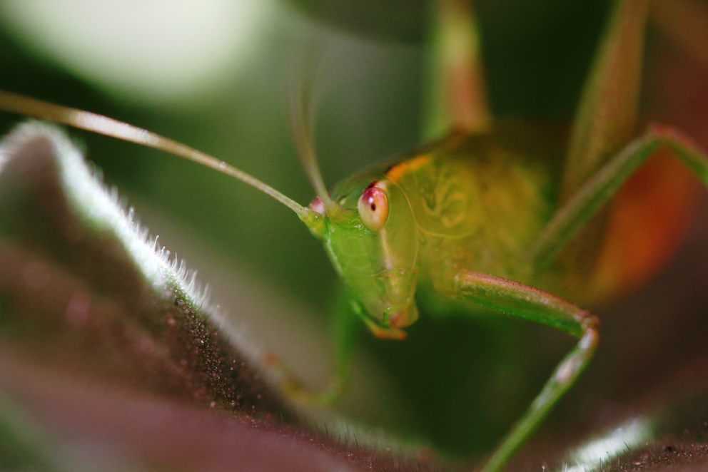 Katydid Cricket (Kiki Pounamu), New Zealand