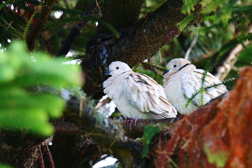 Barbary Doves, New Zealand