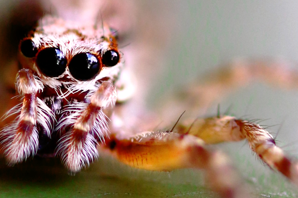Jumping Spider, New Zealand