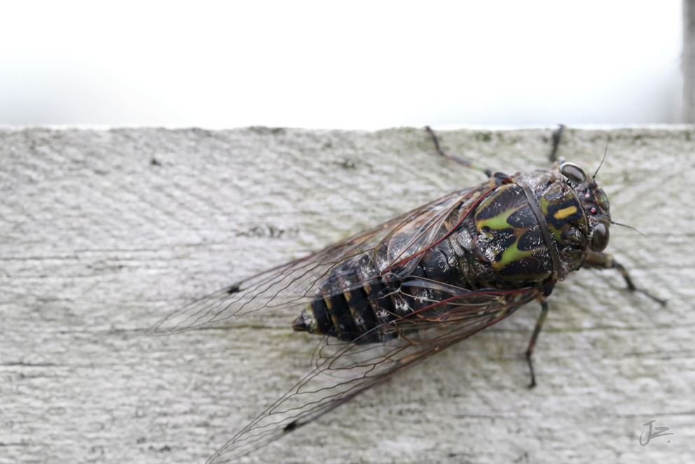 Clapping Cicada, New Zealand Native