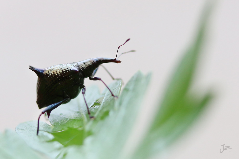 Fourspined Weevil, New Zealand Native