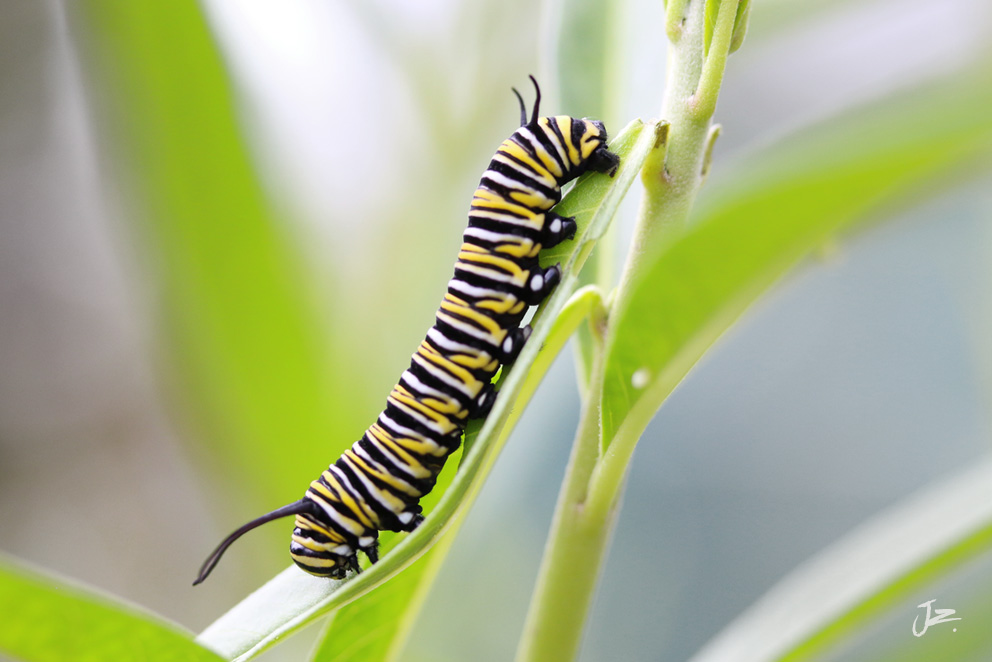 Monarch Butterfly caterpillar day 10