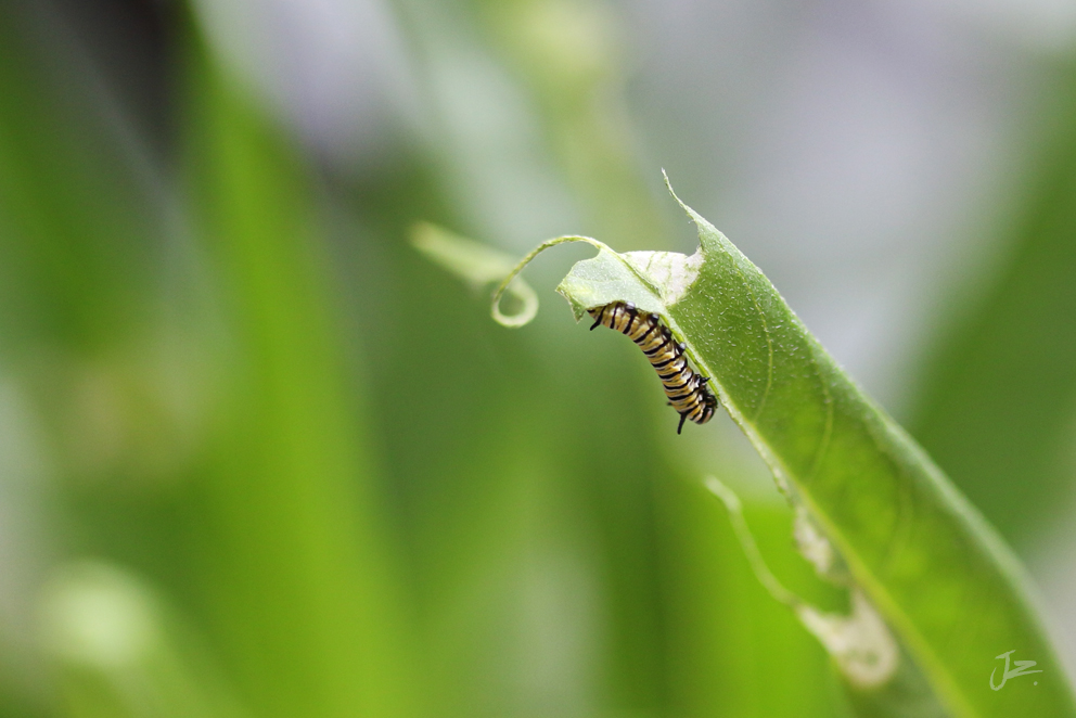 Monarch Butterfly caterpillar day 9