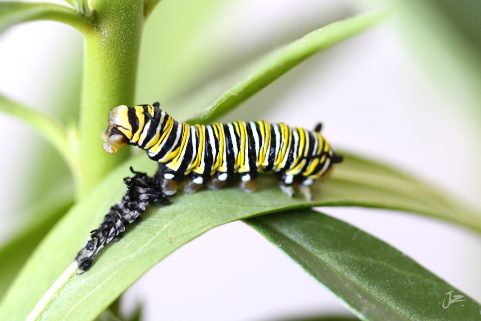 Monarch Butterfly caterpillar skinning
