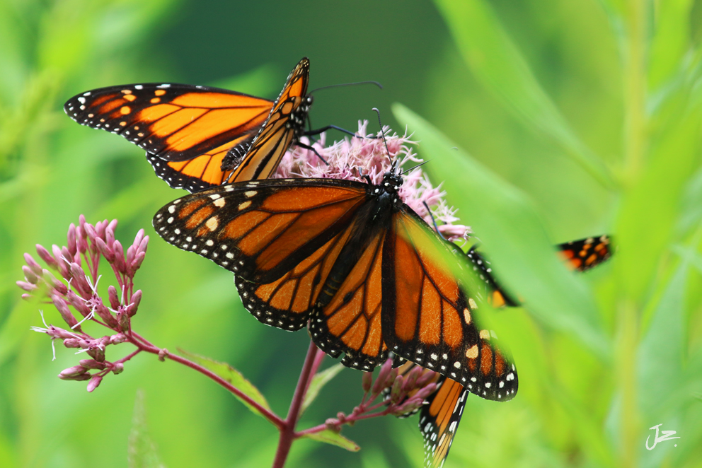 Monarch Butterflys