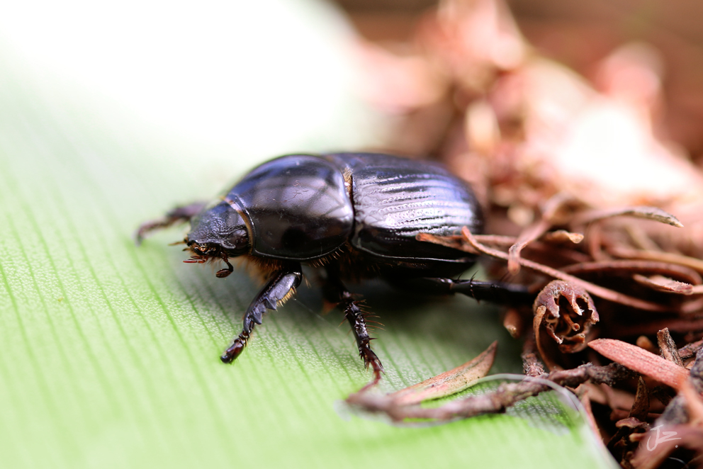 Black Beetle, New Zealand/South Africa