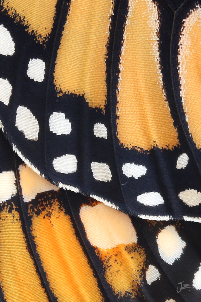 Monarch Butterfly wing