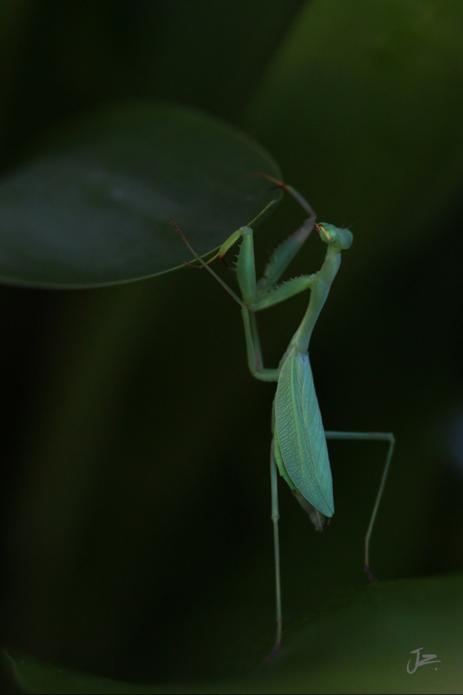 Praying Mantis, New Zealand