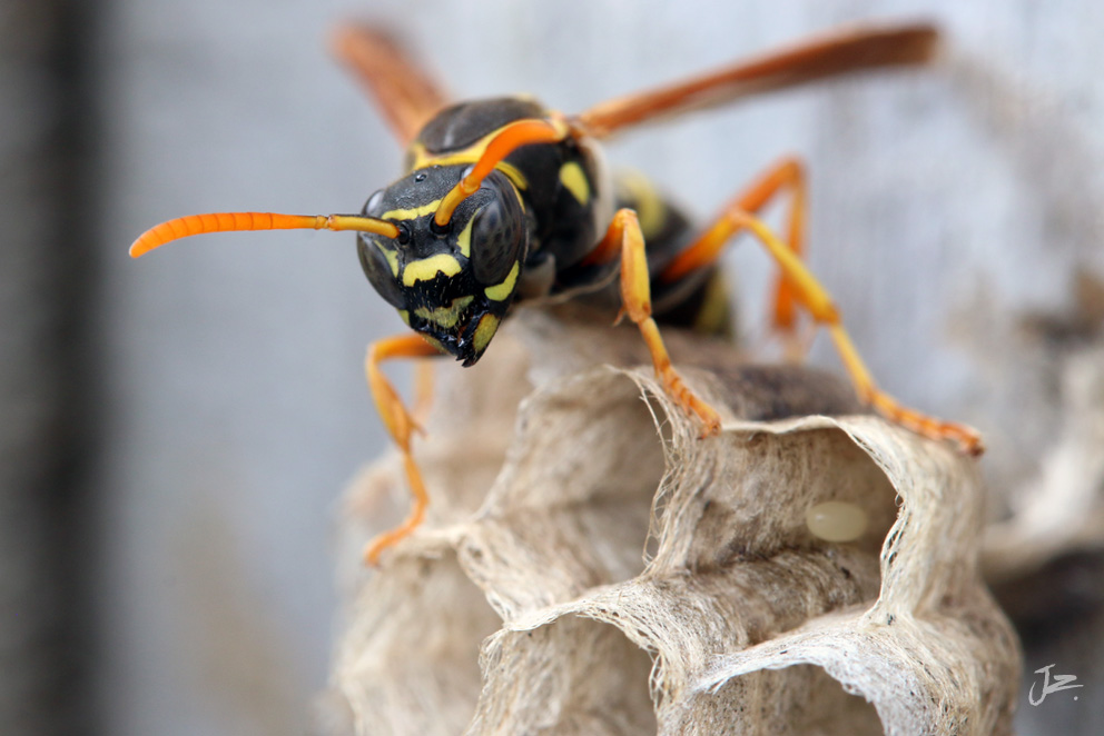 Chinese Paper Wasp, New Zealand