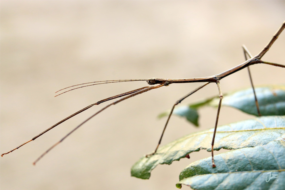 Stick Insect, New Zealand Native